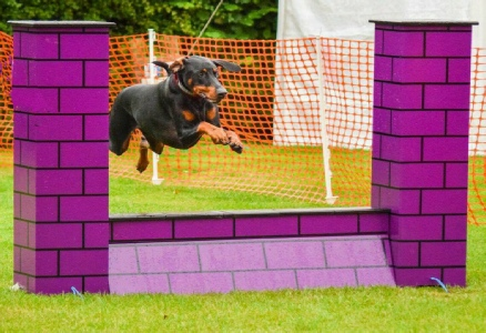 Anything's Pawsable Alfie Jumping an agility wall
